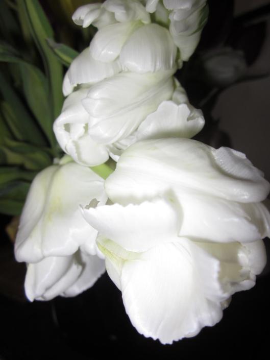 White Parrot Tulips