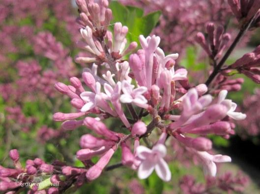 Mini Syringa( Lilac)
