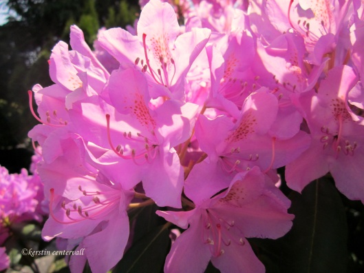Rhododendron (Lilac)