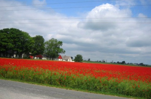 Field of Poppy.